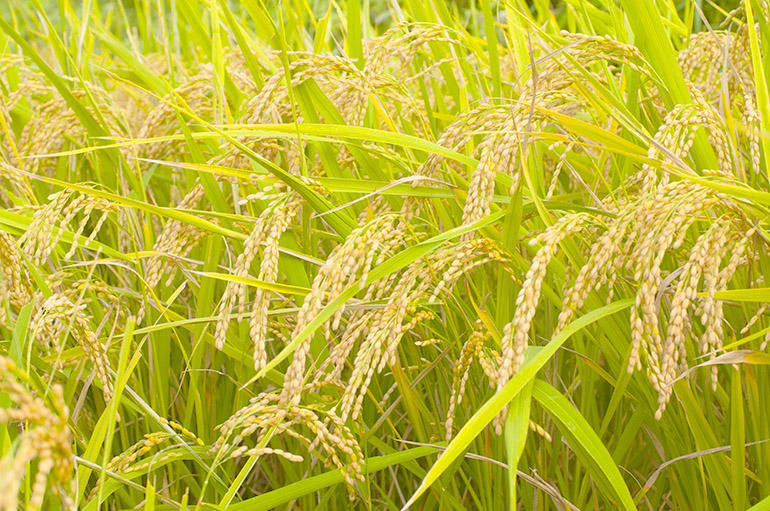 29年度米 新潟産コシヒカリ – 袖山米穀農産(袖山商店)