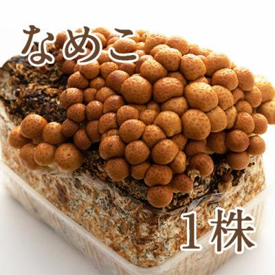 きのこ栽培キット なめこ菌床 1株