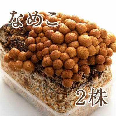 きのこ栽培キット なめこ菌床 2株