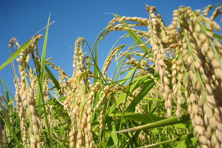 自家栽培の新潟産コシヒカリを100%使用!