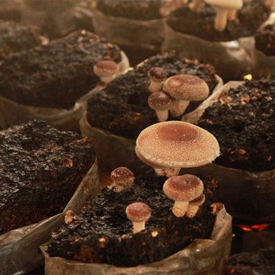 完全無農薬で安心安全の有機菌床です