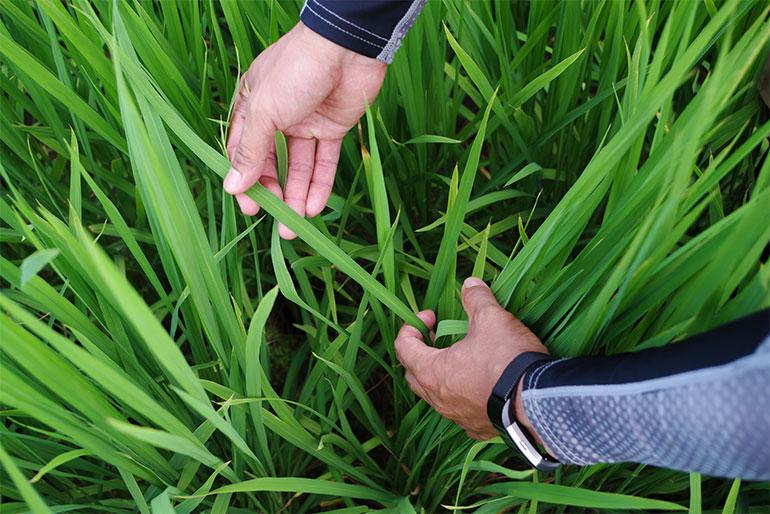 稲の健康を第一に考えた栽培方法