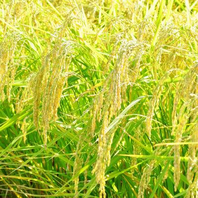 新潟県の上野農園が栽培した山田錦(酒米)を使用