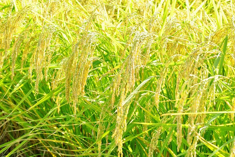 こだわりに共感する契約農家の酒米のみを使用