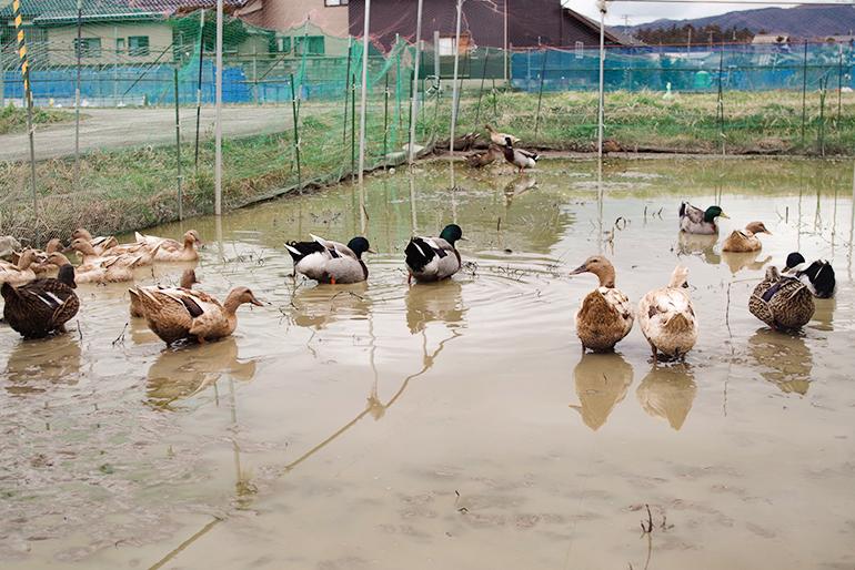 高島農場が実践する「アイガモ農法」
