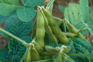 3.肴豆(9月中旬~10月上旬)