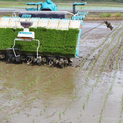 苗を植えると同時に有機肥料を田んぼに撒きます