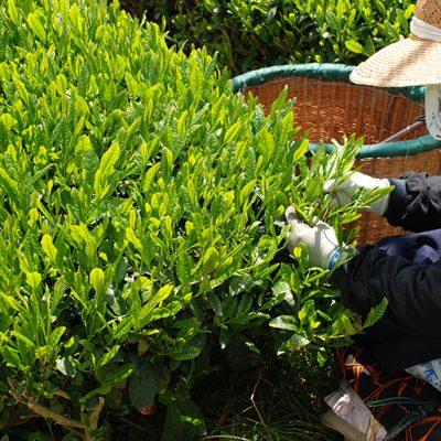 400年の伝統を誇る村上茶