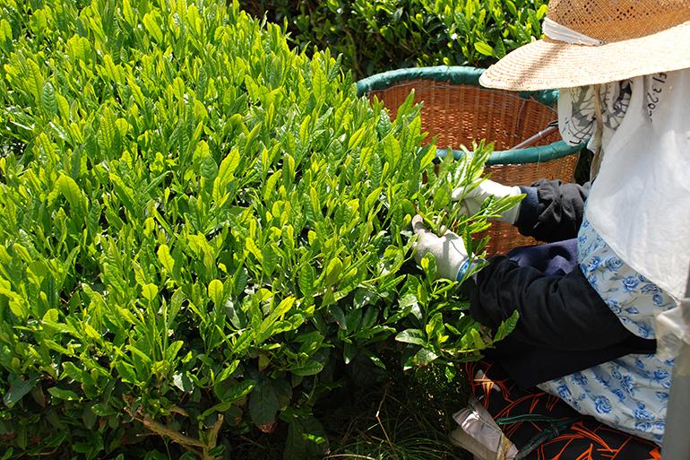 「北限のお茶」として有名な村上茶