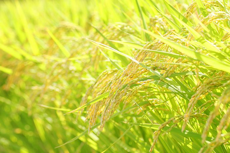 令和元年度米 新潟産こがねもち(もち米・特別栽培米) – 徳永農園