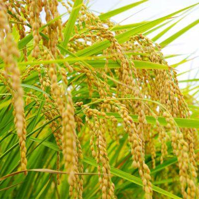水稲直播栽培で育てた稲