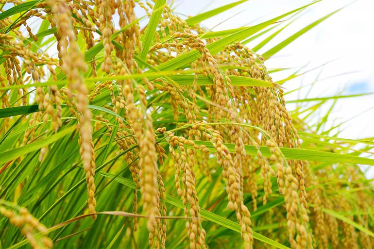 2.稲を丈夫に育てる水稲直播栽培だから!