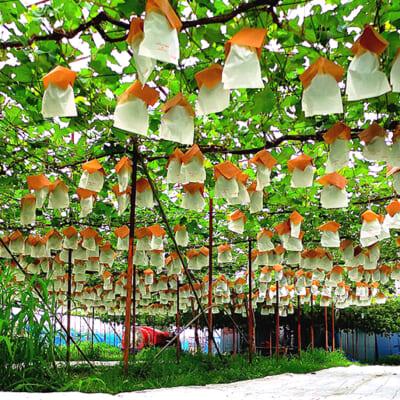 立派なぶどうが実る「とみやま農園」の果樹園