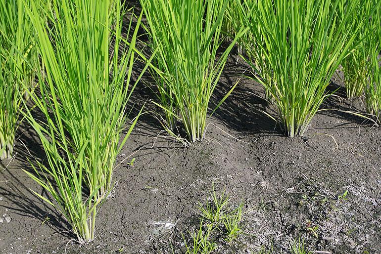 安心の証「特別栽培米」