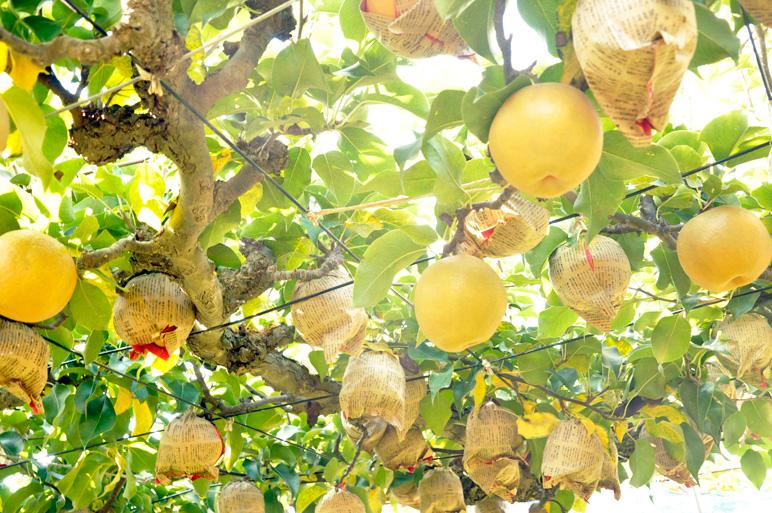 梨一つ一つに対する、梨専門農園の手間と愛情