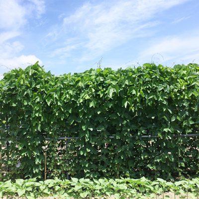 希少な国産八升豆を栽培しています