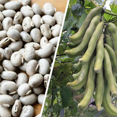 八升豆は日本で古来から食べられていた豆類の一つ