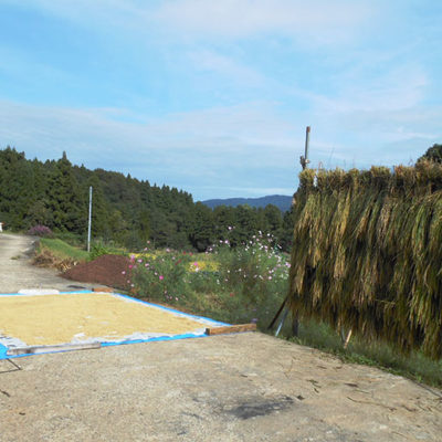 収穫後は天日干しで自然乾燥させ、もっちりとしたお米に仕上げています