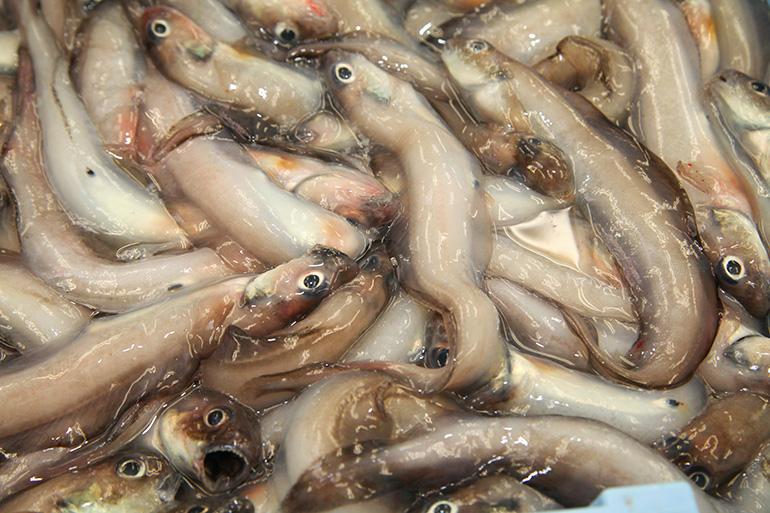 深海200メートル!名立漁港で水揚げされる「黒幻魚」