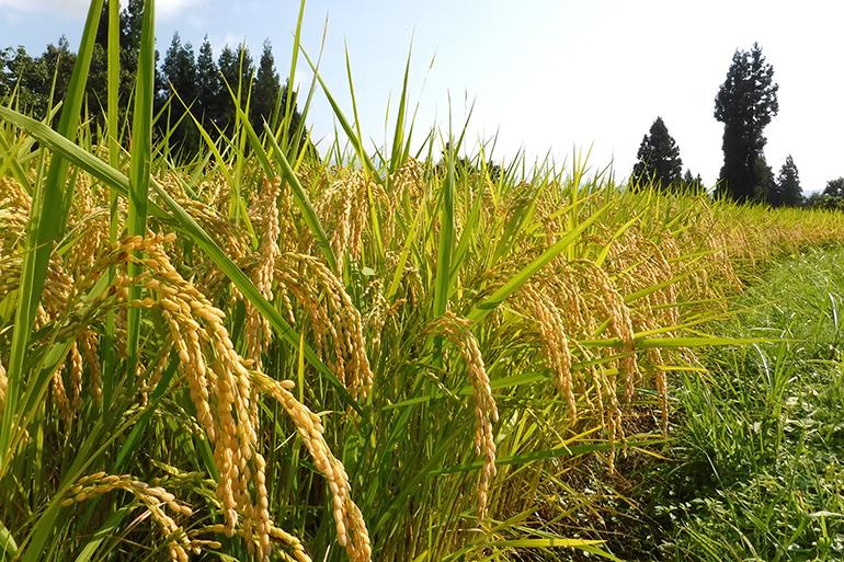 新潟県が認めた安全なお米「特別栽培米」とは