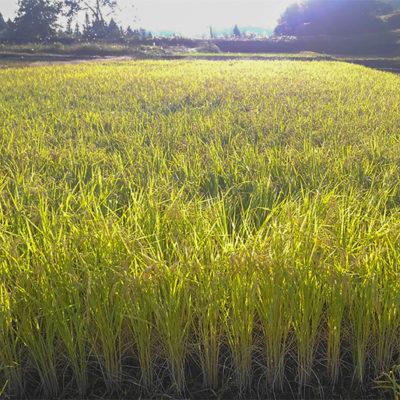 2品種以上を同じ田んぼで育てる「混植」にて栽培