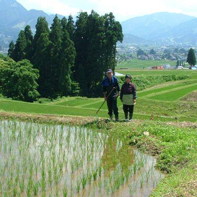 水が綺麗な棚田で栽培