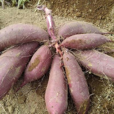 丸々と太ったサツマイモを収穫できる津南町