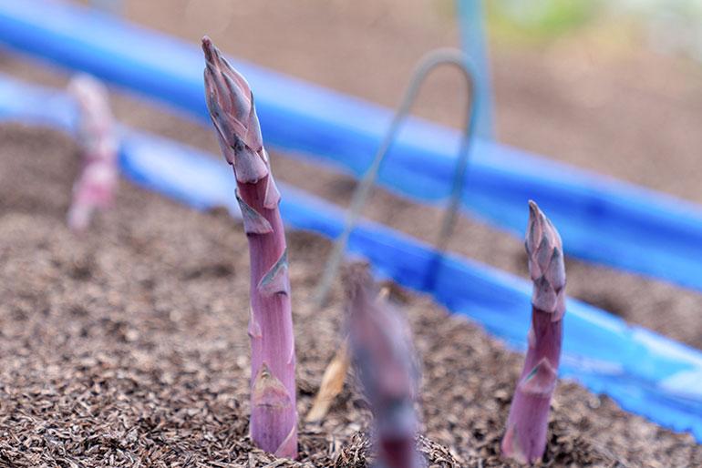 八幡農園の看板「紫アスパラ」