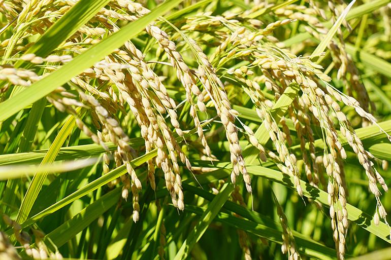 環境保全に努め「特別栽培米」に取り組む