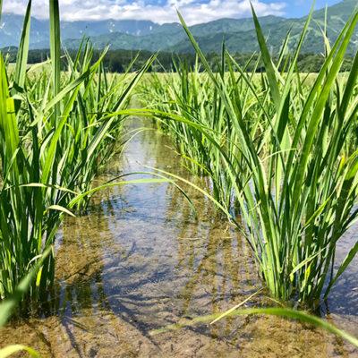 猛暑から稲を守る冷たい雪解け水
