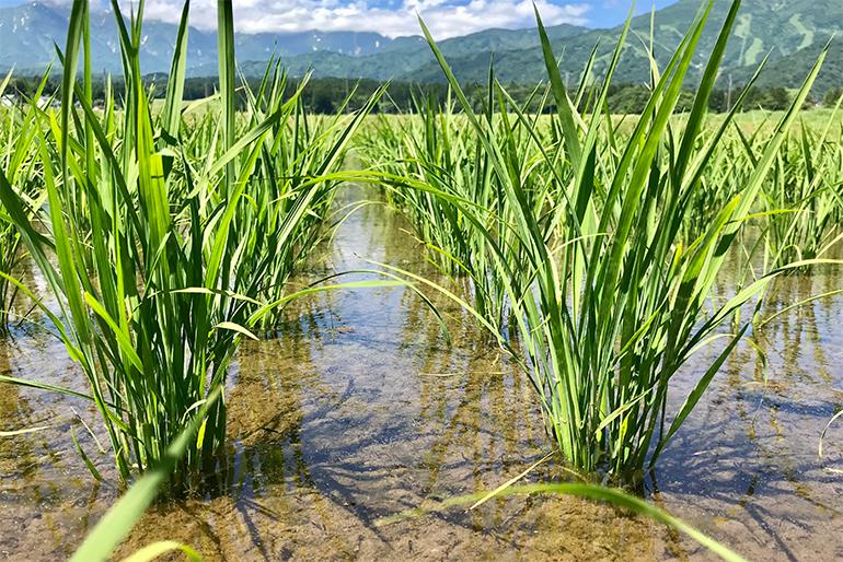 1.稲を猛暑から守る雪解け水と低気温