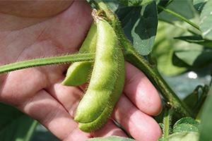 6.肴豆(9月末~)※緑豆