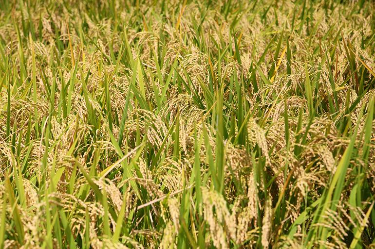 日本一の米どころ新潟でも希少なコシヒカリ品種とは