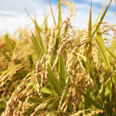 微生物の力で稲の成長をサポート